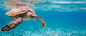 turtle_diving_seychelles_oOk